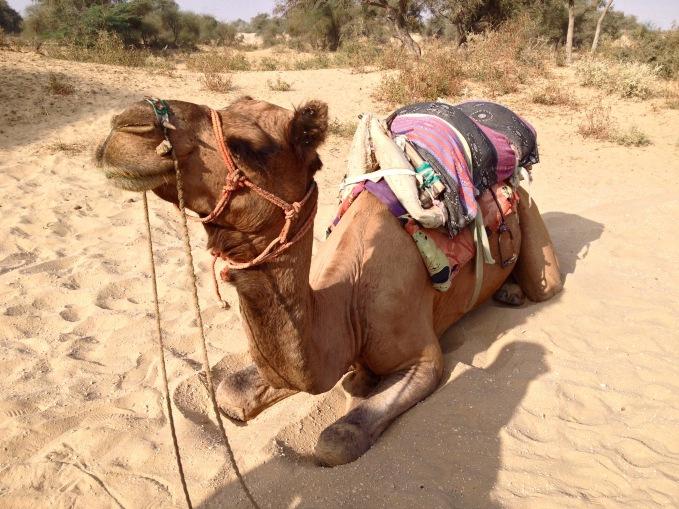 India travel camel desert