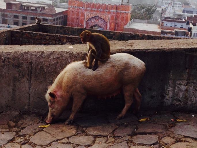 monkey riding pig India travel